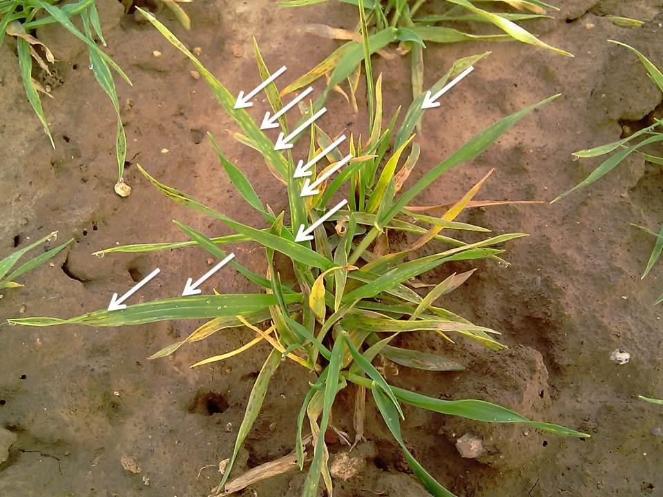 Plante d'escourgeon présentant les caractéristiques typiques d'une attaque de mosaïque jaune de l'orge. Les « tirets chlorotique s» sont désignés par des flèches.